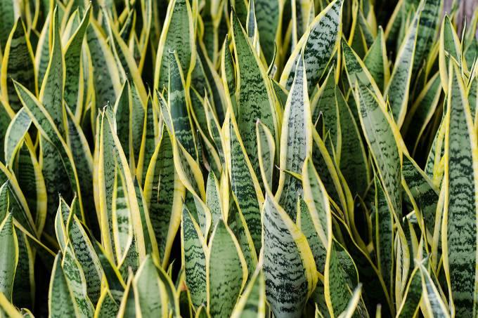 01-istock-sansevieria-trifasciata